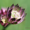 Masterwort, Astrantia major -