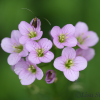 Radish-leaved bittercress, Cardamine raphanifolia -