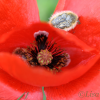 Beetles collecting pollen on a poppy -