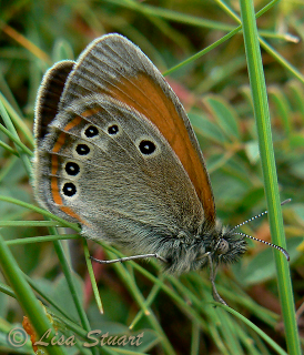 coenonympha_glycerion_iphioides