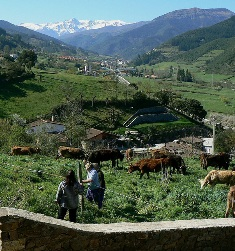 liebana_cows_small