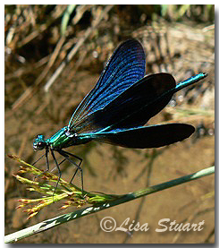 odonata_beautiful_demoiselle