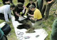 tending_wounded_bear_environment_ministry_asturias