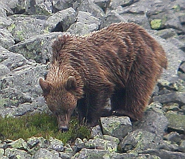 Cantabrican brown bear foraging for bilberries