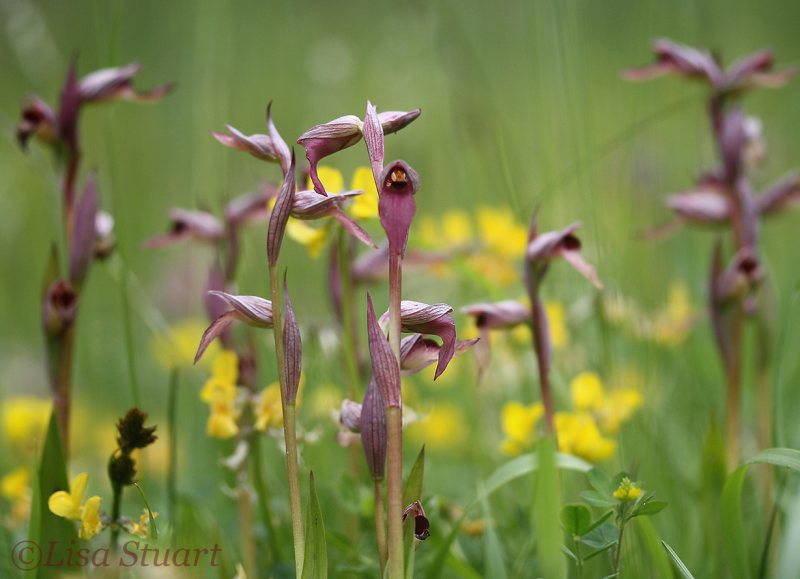 Tongue orchids, Serapias lingua -