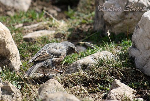 Alpine accentor, Prunella collaris - Spanish name - Acentor alpino