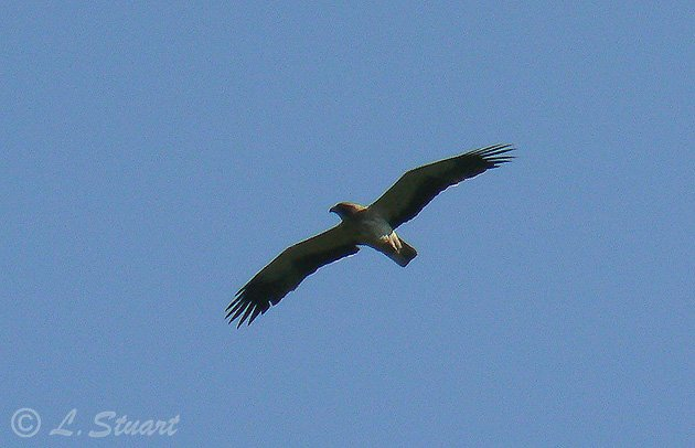 Booted eagle, Aquila pennata - Spanish name - Águila calzada
