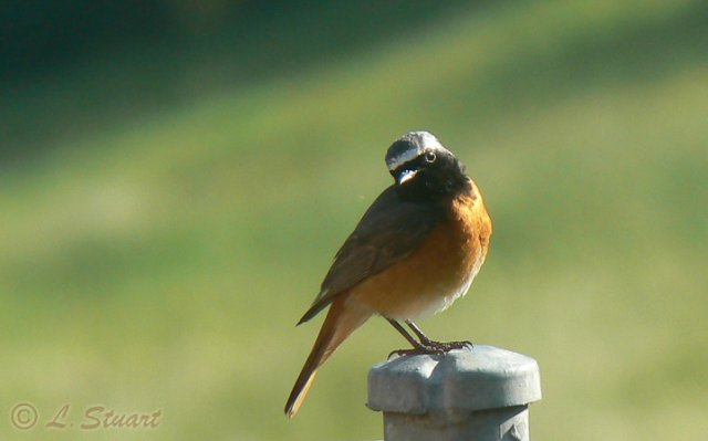 Male Common redstart, Phoenicurus phoenicurus - Spanish name - Colirrojo real