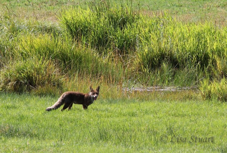 Red fox by stream - Red fox by a stream in the Cantabrian mountains