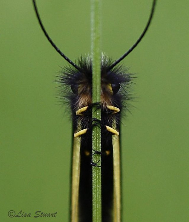 Libelloides coccajus - An owlfly, Libelloides coccajus, belonging to the Ascalaphidae family