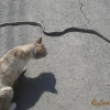 Aesculapian snake and cat