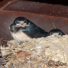 Barn swallow chicks waiting for the next feed
