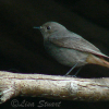 Female Black redstart, Phoenicurus ochruros - Spanish name - Colirrojo tizón