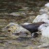 Dipper, Cinclus cinclus - Spanish name - Mirlo aquático europeo