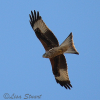 Red kite, Milvus milvus - Spanish name - Milano real