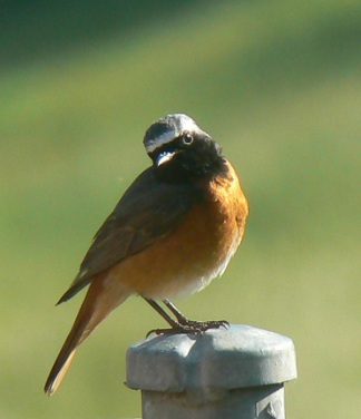common_redstart