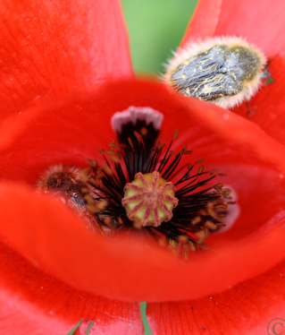 poppy_beetles