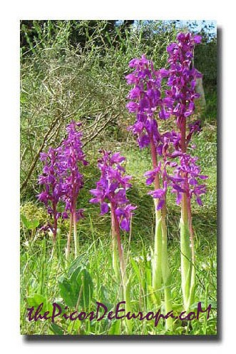 A group of Early purple orchids