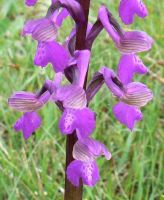 green_winged_orchid_close_up_flowers