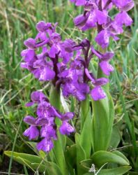 green_winged_orchid_leaves