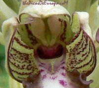lizard_orchid_flower_detail_picos