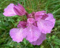 pink_butterfly_orchid_flowers