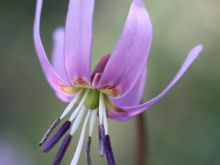 Erythronium dens-canis, Dog's tooth lily