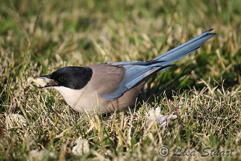 The Azure winged magpies actually preferred Doritos