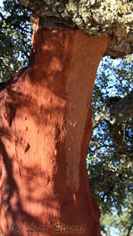 An Extremaduran Cork oak