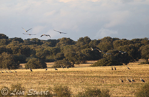 Common cranes and Greylag geese near Monroy