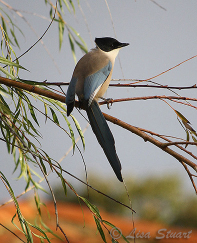 Azure-winged magpie, Cyanopica cooki, Plasencia campsite