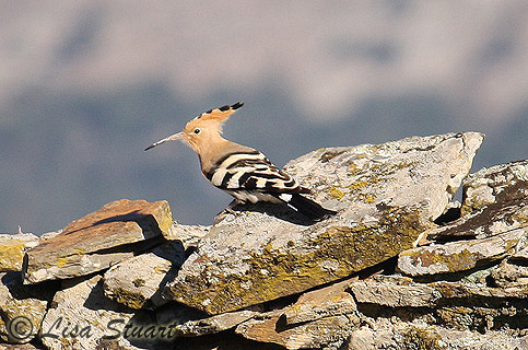 Hoopoe at Torrejon el Rubio