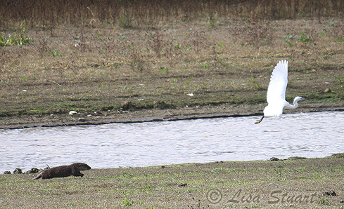 One of the otter cubs seeing off the Little egret