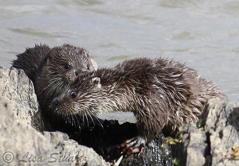 The playful otter cubs waiting for the next meal