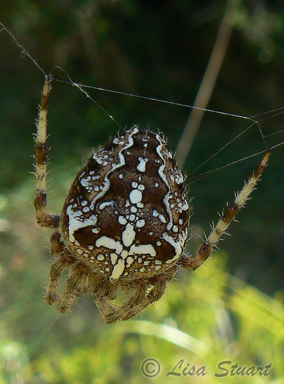 Probable Araneus diadematus