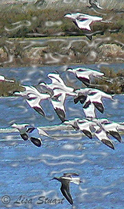 Avocets on the Ebro