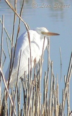 Cattle egret in Pitillas lagoon