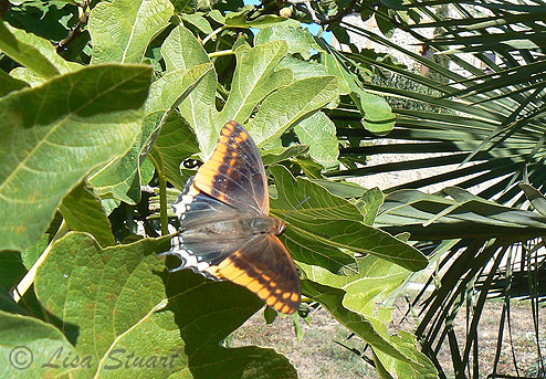 A Two-tailed pasha! Charaxes jasius
