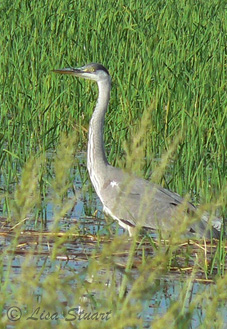 Grey heron fishing at Pego-Oliva