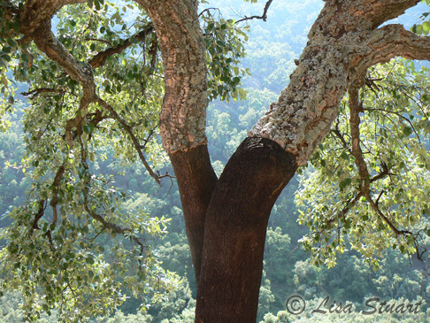 A stripped cork oak in the Serra D'Espada