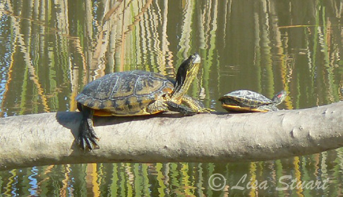 Adult and juvenile Red-eared terrapins, Trachemys scripta elegans