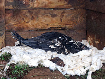 lammergeier-chick-artificial-nest-fapas
