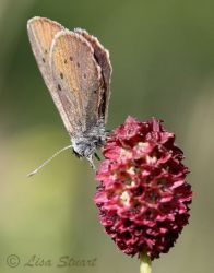 dusky_large_blue_sanguisorba_officinalis