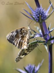 espers_marbled_whites
