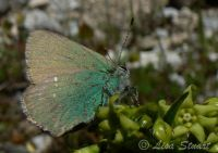 green_hairstreak