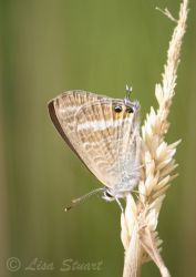 long_tailed_blue