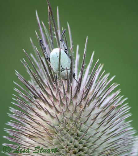 Beetle on teasel