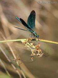 beautiful_demoiselle_spiders